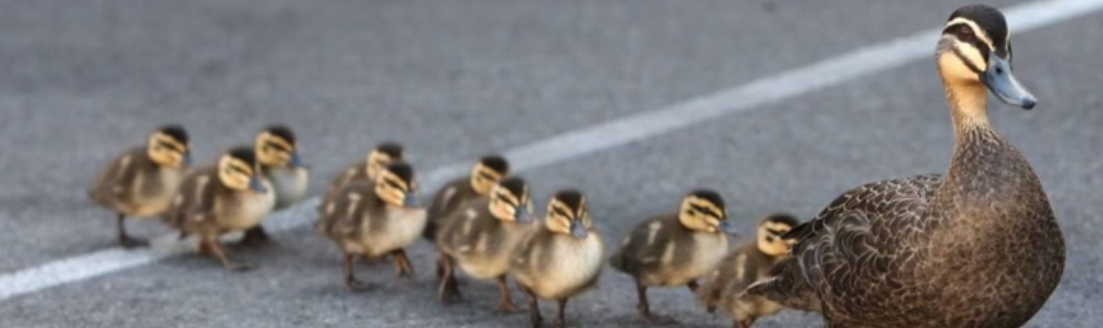 Disciple Making is Like a Family of Ducks