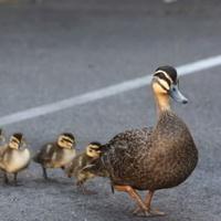 duckling_discipleship-200