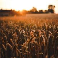 harvest_field-200